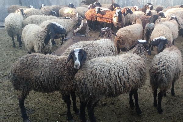 خطر انقراض در کمین گونه های مختلف گاو، گوسفند و بز